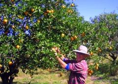Picking fresh pineapple oranges near Okeechobee, FL