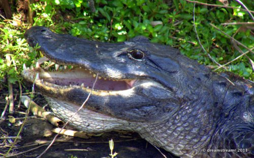 picture of laughing alligator