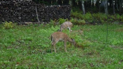 deer at Airstream